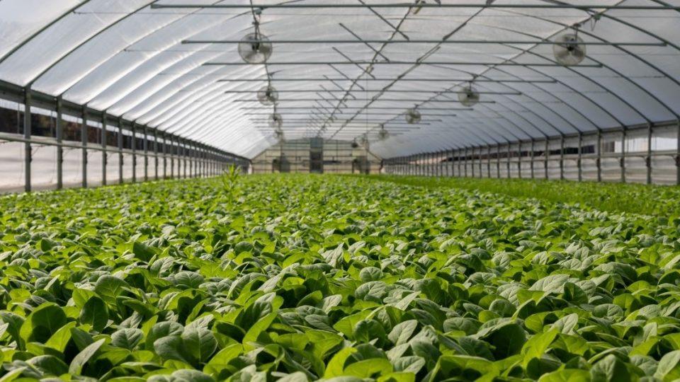 Field of Plants in Greenhouse